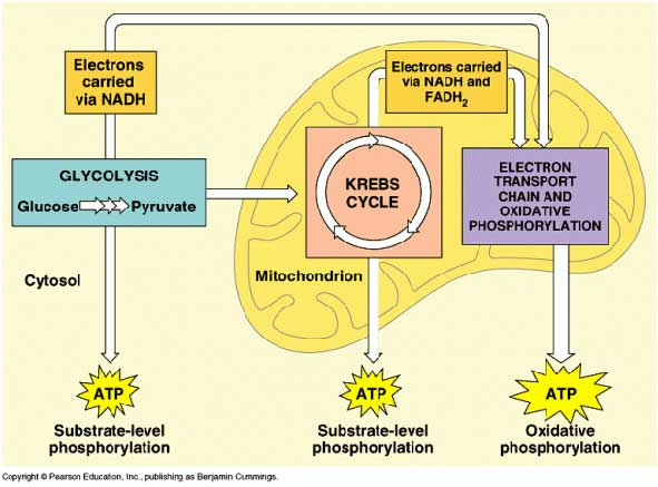 The three types of cell respiration